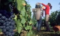 Sezonowa praca we Francji przy zbiorach winogron