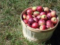 Oferta pracy sezonowej w Niemczech przy zbiorach jabłek