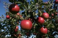 Praca sezonowa w Danii przy zbiorach jabłek