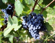 Praca sezonowa we Francji przy zbiorach winogron