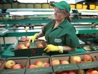 Praca sezonowa w Holandii przy sortowaniu jabłek