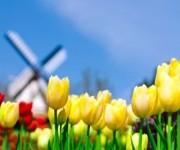 Praca sezonowa w Holandii przy kwiatach – zbiory