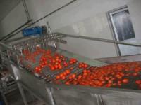 Sezonowa praca we Włoszech na produkcji przecieru pomidorowego