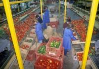 Sezonowa praca w Niemczech przy sortowaniu i pakowaniu warzyw