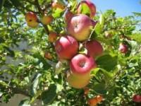 Oferty pracy we Francji przy zbiorach jabłek – gruszek