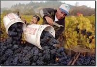 WINOBRANIE – sezonowa praca we Włoszech przy zbiorach winogron