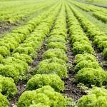 Sezonowa praca w Holandii na plantacji – od zaraz