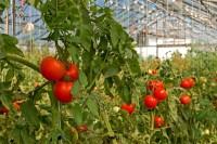 Praca sezonowa w Holandii przy zbiorach pomidorów szklarniowych