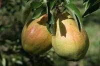 Od zaraz praca w Anglii przy zbiorach gruszek i jabłek