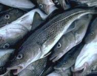 Sezonowa praca przy rybach w Szwecji – filetowanie