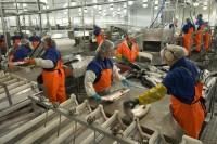 Praca w Norwegii przy produkcji rybnej – pakowanie od zaraz