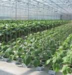 Praca w Holandii 2013 – przy sadzonkach pomidorów, ogórków