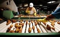 Sezonowa praca w Irlandii przy sortowaniu ziemniaków – produkcja