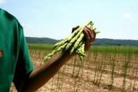 Niemcy – sezonowa praca przy zbiorze szparagi od 2013