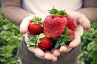Praca sezonowa dla pary w Niemczech przy zbiorach owoców i warzyw – szukamy pracy