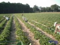 Zbiory szparagów – praca w Niemczech sezonowa na famie (Hannover)