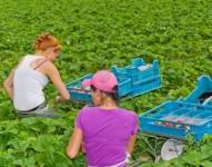 Praca w Holandii przy zbiorach truskawek i malin od zaraz dla par
