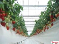 Sezonowa praca w Niemczech przy truskawkach, malinach od zaraz (dla par)