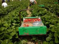 Praca w Niemczach przy zbiorach owoców od lipca dla grupy