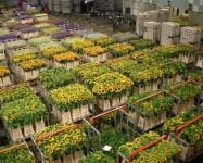 Holandia praca przy uprawie warzyw i kwiatów w rolnictwie