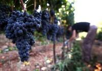 Niemcy praca przy zbiorach winogron od zaraz (Baden-Baden)
