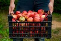 Praca we Francji (Lille) zbiory jabłek dla grupy