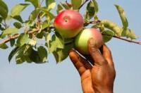Sezonowa praca w Niemczech przy zbiorach jabłek od zaraz bez języka