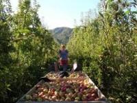 Szef ekipy praca we Francji przy zbiorach owoców w Caen ze znajomością francuskiego